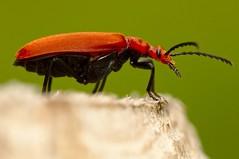 Roodkopvuurkever (andabata) Tags: pyrochroaserraticornis roodkopvuurkever vuurkever kever tor beetle commoncardinalbeetle cardinalbeetle red rood