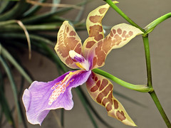 The Butterfly Orchid (Dan Wilson Photographer) Tags: orchid flower color macro closeup canon butterfly tampa point colorful shoot colours close tiny pointandshoot colourful g6 encyclia canong6 danwilson butterflyorchid tampensis encycliatampensis danwilsonphotographer tampabutterflyorchid
