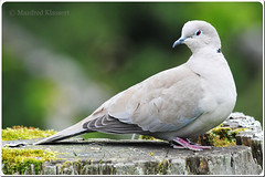 Eurasian Collared Dove  2  (M.A.K.photo) Tags: bird nature birds germany deutschland nikon hessen outdoor dove wildlife vgel taube tier vogel songbird birdwatcher eurasiancollareddove streptopeliadecaocto singvogel turksetortel trkentaube naturewatcher nikkor300mm28 afstc20eiii nikkorafstc20eiii photospourtousphotosforall afnikkor300mmf28