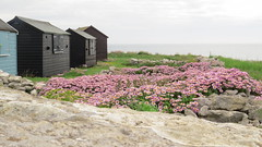 At Portland Bill (hedgehoggarden1) Tags: uk flowers sea grass canon portland landscape rocks huts dorset portlandbill canonpowershotsx50hs