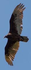 On Golden Wings (Jay:Dee) Tags: turkey vulture cathartes aura bird avian flight flying feathers backlit mount nemo conservation area burlington ontario