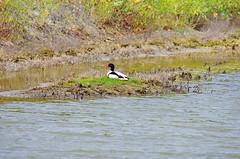 le de R 89 - dans la Rserve Naturelle de Lilleau des Niges, un Tadorne de Belon (paspog) Tags: france island duck insel canard r le leder rservenaturelle tadornedebelon rservenaturelledelilleaudesniges