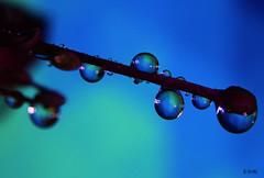 blue drop (gshaun12) Tags: blue flower macro nature drops dof bokeh fantasticnature macrodreams