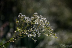 Be-Dazzled and Be-Jewelled (Shastajak) Tags: sparkles dewdrops bokeh morningdew cowparsley anthriscussylvestris earlymorningsunshine