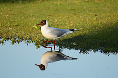 Reflections (kalakeli) Tags: water birds june juni reflections wasser gulls vgel mwen mnster larusridibundus blackheadedgull reflektionen 2016 rieselfelder lachmwe chroicocephalusridibundus rieselfeldermnster