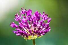 Erwachen - awakening (ralfkai41) Tags: allium pflanzen macro flowers plants pink zierlauch blten nature outdoor makro blossoms natur blumen