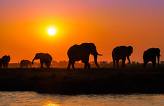 Silhouettes from Chobe, Chobe National Park, Botswana (Poulomee Basu) Tags: africa sunset wild elephant nature beauty silhouette river mammal outdoors golden nikon shadows african wildlife conservation safari delicate tranquil africanelephant wildlifephotographer africansafari naturelovers choberiver wildlifephotography africanportraits nikond90 conservationphotography nikond90users