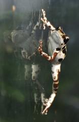 Strawberry poison-dart frog (Oophaga pumilio) _DSC0411 (ikerekes81) Tags: cute zoo washingtondc smithsonian dc strawberry nikon amphibian frog national nationalzoo kerekes ik istvan amazonia nikond3200 dczoo poisondart smithsoniannationalzoologicalpark smithsoniannationalzoo d3200 washingtondczoo pumilio zoosmithsonian 18105mm strawberrypoisondartfrog oophaga oophagapumilio sb700 istvankerekes strawberrypoisondartfrogoophagapumilio amazoniaatsmithsoniannationalzoologicalpark