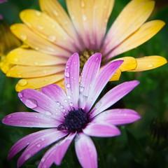 magic colors (Tomsch) Tags: flowers plant flower color nature colors closeup droplets drops colorful ngc natur pflanze blumen droplet blume farbe nahaufnahme farben wassertropfen tropfen farbenfroh