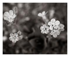 DP3M0294 (Brendan Swihart) Tags: summer capitolreef endangeredspecies threatenedspecies milkvetch rareplants cycladeniahumilis naturitamilkvetch astragalusnaturitensis jonescycladenia cycladeniahumilisvarjonesii