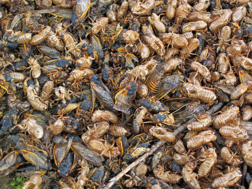 cassini periodical cicadas - photo #32