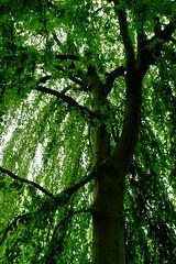 Buche in Hiltrup - 2016 - 0005_Web (berni.radke) Tags: tree giant baum beech mnster buche colossus riese hiltrup