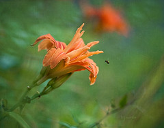 when the flower blossoms. . . (Betty Jo ) Tags: flowers orange flower texture nature garden blossom ngc bee bumblebee npc lilly daylily textured daylillies doubledaylily kerstinfrank