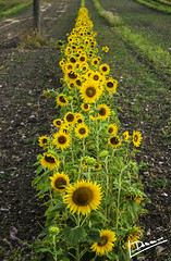 Sunflowers (domjuniorlemma) Tags: wood morning flowers autumn trees winter red summer sun flower tree green fall nature colors grass leaves animals yellow forest photoshop canon garden insect photography photo leaf reflex spring branch violet insects photograph rays mothernature chlorophyll clorophilla