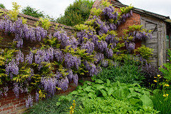 Calke Abbey (SkylarkUK) Tags: uk garden outdoors derbyshire nationaltrust wisteria calke ticknall calkeabbey