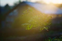 _DSC3341 (SergeyKalugin) Tags: light oak sony a7 meyer primotar