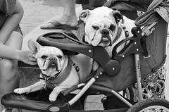 Babies at Venice Beach (!Claro) Tags: california dog baby losangeles stroller hund venicebeach kinderwagen