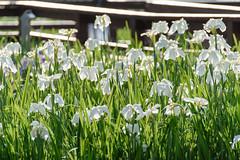 19Yamada Pond Park (anglo10) Tags: flower japan