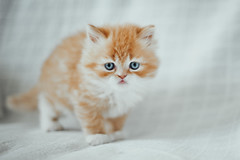 last of the blue one's (koolandgang) Tags: cat kitten kitty persian irankedisi kedi kedici reis orange ginger portakal
