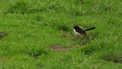 Rhipidura leucophrys (Diana Padrn) Tags: bird birds ave aves australia victoria cussen park nature wildlife naturaleza humedal humedales willie willy wagtail rhipidura leucophrys