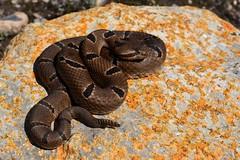 Crotalus morulus. Tamaulipas. (Lizard_ Skin) Tags: mexico snake tamaulipas rattlesnake herps herpetology crotalus viboradecascabel crotalusmorulus herpmx mexicoherps