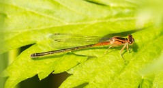 7K8A1677 (rpealit) Tags: mountain nature female scenery wildlife management area sparta eastern damselfly forktail