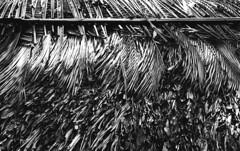 Saigon Palm Texture (H_H_Photography) Tags: saigon vietnam hochimin palm texture pattern roof ceiling house architecture object nikon fe2 nikonfe2 kodaktrix trix 1600 pushprocessing push process epson epsonv600 bw analog film filmphotography