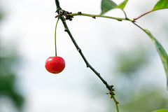 La cerise (Croc'odile67) Tags: red nature rouge nikon contemporary sigma cerise d3300 18200dcoshsmc