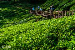 DSC07663 (inkid) Tags: bokeh dof green plant cameron highlands travel ka ku vege outdoor depth field 50mm f14 za ssm carls planart1450 availablelight nature sony carlzeiss asia malaysia