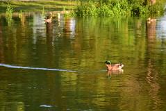 DSC_0024 (rachelle571) Tags: lake water reflections dam ducks ducklings mallard holmes