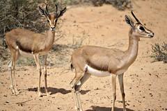 A Pair (pam's pics-) Tags: nature animal sand dubai desert natural wildlife uae antelope unitedarabemirates wildlifesanctuary arabiandesert pammorris pamspics desertantelope sonya6000 dubaidesertconservationarea