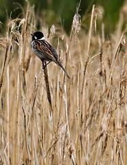 amongst the reeds (tsd17) Tags: uptonwarren worcestershirewildlifetrust