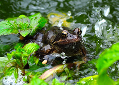 Ems frog (melba173) Tags: frog pond water
