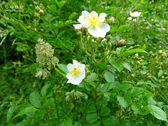 Hunds-Rose (Rosa canina) (warata) Tags: flower fleur germany deutschland pflanze shrub blume blte strauch whiteflowers 2016 rosacanina wildblume hundsrose wildpflanze