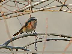 Rufous-backed Redstart (Phoenicurus erythronotus) (gilgit2) Tags: avifauna birds borit canon canoneos70d category fauna feathers geotagged gilgitbaltistan gojal imranshah location pakistan rufousbackedredstartphoenicuruserythronotus sigma sigma150500mmf563apodgoshsm species tags wildlife wings gilgit2 phoenicuruserythronotus 05birds