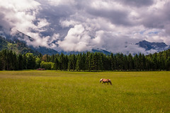 The Doors You Open (Laurent Moose) Tags: wood horse mountains nature fog forest sterreich nebel rainyday meadow wiese berge obersterreich haflinger hinterstoder