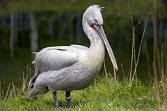 Pelican standing in the grass (Tambako the Jaguar) Tags: pelican bird white standing grass vegetation semiprofile zoo dhlhlzli tierpark bern berne switzerland nikon d4