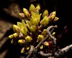 Bluff Lettuce (Tom Hilton) Tags: crassulaceae dudleya dudleyafarinosa