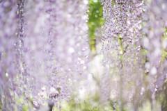 Untitled (/KENTAMA) Tags: light blur flower flora purple bokeh may wisteria  nikkor50mmf12 eos6d