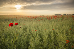 Summer Colour (Vemsteroo) Tags: morning flowers red wild summer cloud mist nature beautiful rural sunrise canon dawn countryside bright farm brandon dramatic lee poppy poppies 5d crops wildflowers agriculture filters warwickshire mkiii 2470mm beautyinnature