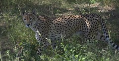 Gupard (Michel Seguret Thanks all for 8.400 000 views) Tags: park wild france animal animals nikon reserve pro cheetah animaux aude parc tier d800 afrique flin sauvage gepard africaine guepardo sigean gupard ghepardo michelseguret