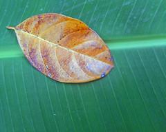 Jackfruit leaf on banana (SierraSunrise) Tags: color leaves contrast thailand leaf artistic banana jackfruit chiangrai wiangkaen