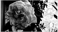 Rosa en byn....P1140183EP (gtercero) Tags: byn rosa gtercero 20160619