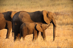 Mom, pay attention to me! (3scapePhotos) Tags: africa tanzania animal animals attention baby continent elephant elephants mom pay safari tarangire