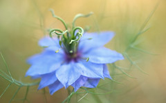 Nigelle de Damas (christophe.laigle) Tags: blue flower macro fleur fuji bleu nigellededamas xpro2 cheveuxdevnus