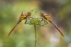 Face to face (Ramn Menndez Covelo) Tags: two naturaleza macro nature wings eyes couple dragonflies dragonfly pareja pair small olympus bugs dos ojos alas bichos zuiko macrophotography macrofotografa liblulas