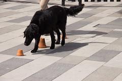 Nssla focused on her search (Yvonne L Sweden) Tags: dog dogs sweden hund eskilstuna flatcoatedretriever hundar nssla 160622 fristadstorget hundshow sommartorget