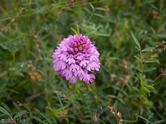 CRW_7536-1 (03TTAM) Tags: fiori toscana viafrancigena
