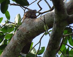 Great Potoo (Jenn Sinasac) Tags: panama greatpotoo nyctibiusgrandis potoo pipelineroad nyctibius soberanianationalpark nyctibiidae