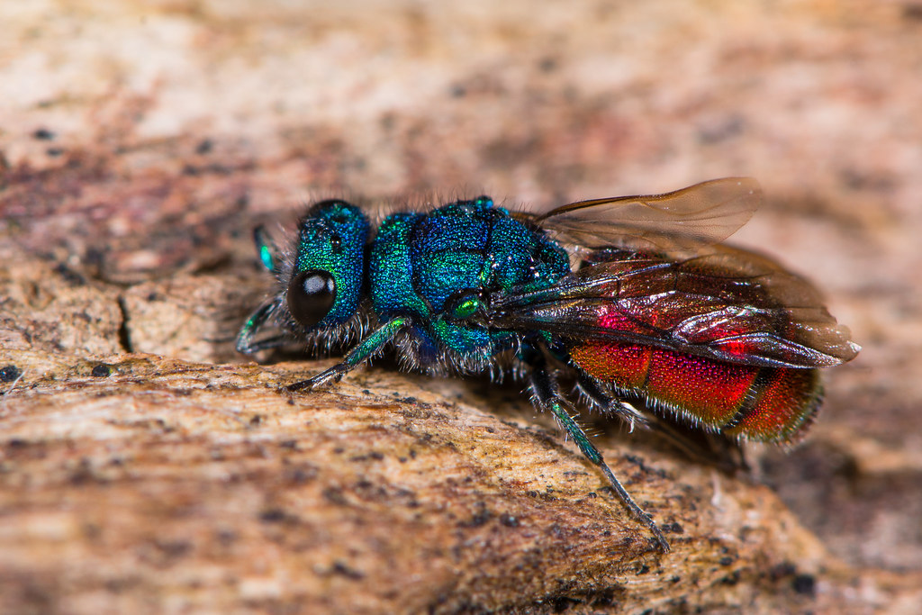 The World S Best Photos Of Chrysis And Wasp Flickr Hive Mind